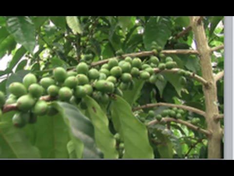 Kona Coffee, NBC NEWS