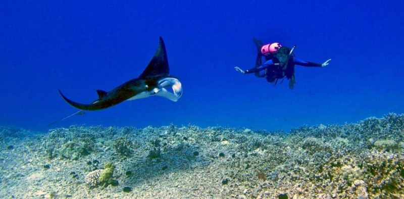 scuba diver and manta ray swim at the waters of the big island, hawaii