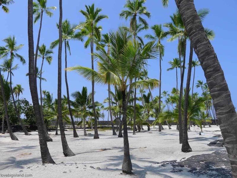 Coconut grove in the Puuhonua o Honaunau National Park