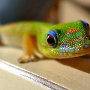 Gecko on Hawaii