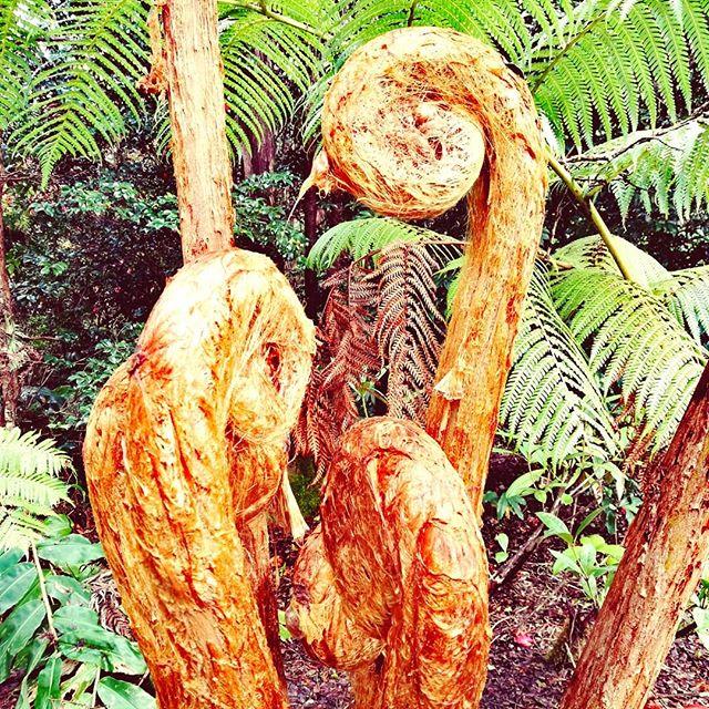 Hāpuʻu (Hawaiian tree fern)