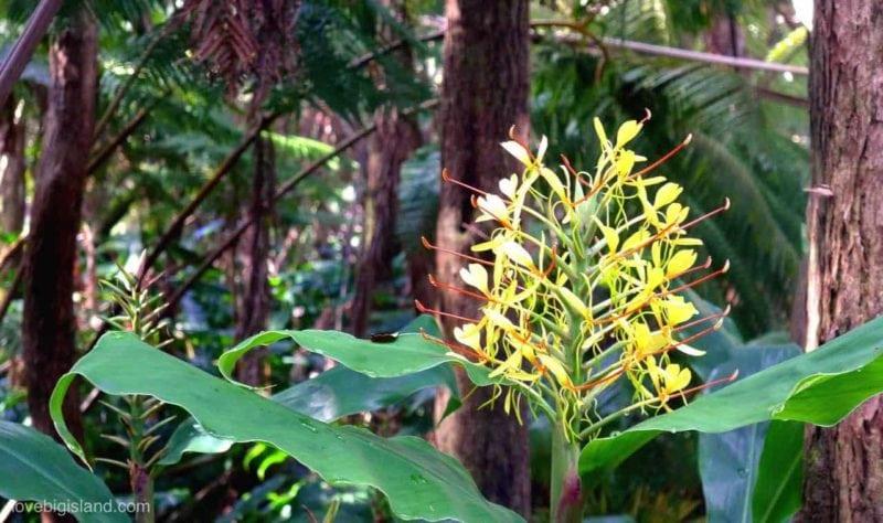 kahili ginger, flower, hawaii