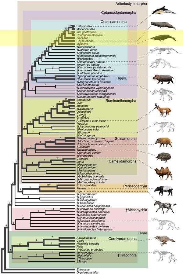 whale ancestor chart
